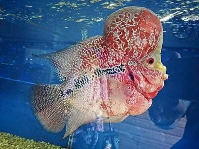 Flowerhorn Fish: Types of Flower Horn, Care