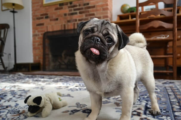 Vodafone Dog Pug Breed Information and Price in India