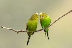 Best food for Budgies in India